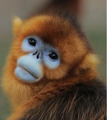 Face recognition monkey face
